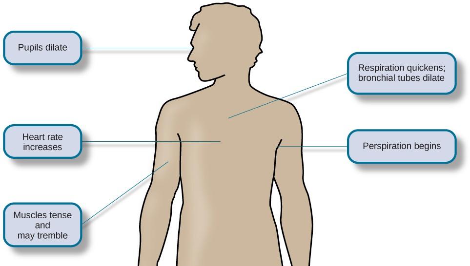 A figure shows the basic outline of a human body and indicates the body's various responses to fight or flight, including: pupils dilate, heart rate increases, muscles tense and may tremble, respiration quickens, bronchial tubes dilate, and perspiration begins.