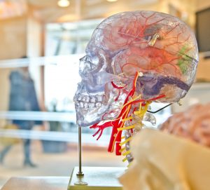 Anatomical model of the brain