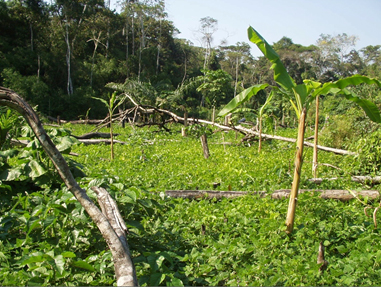 Image of beans and bananas planted in a swidden field in Acre, Brazil
