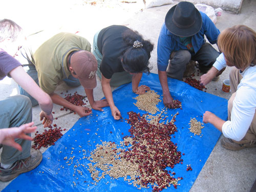 Image of workers sorting coffee beans