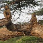 Baboon pair in tree
