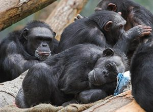Image of chimpanzees, the primate most closely related to humans.