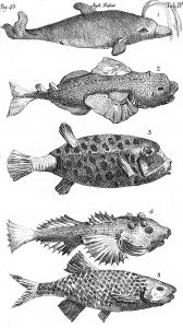 Illustration of fish species from Systema Naturae.