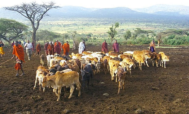 Image of a herd of cattle tended by Maasai women