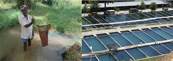 Image of harvesting fish with hand nets compared to intensive aquaculture farming