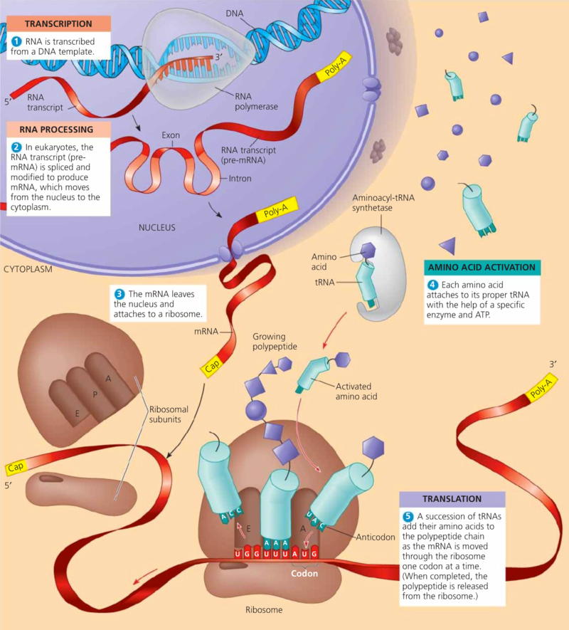 an overview of transport protein in eukaryotes Evolutionary studies related to the origin of eukaryotes are still searching for answers related to the development of endomembrane and cytoskeleton ras superfamily of gtpases is a well-known regulator of actin and microtubule assembly, vesicular trafficking, and signaling function.